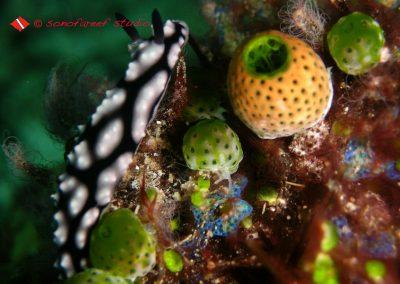 Phylidiella Pustulosa