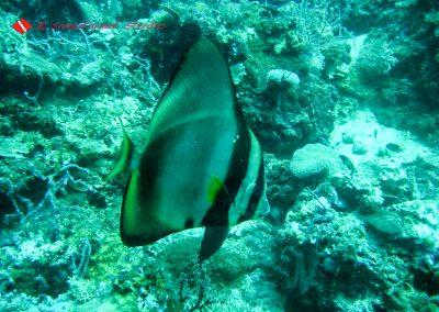 Bat Fish-2