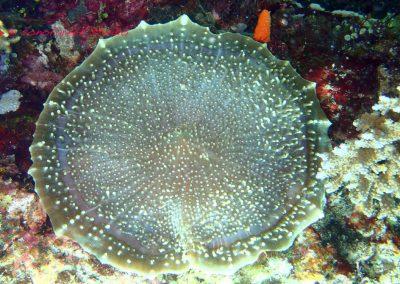 Coralliomorpharian