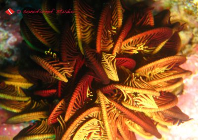 Feather Star-1