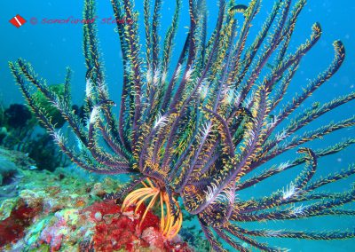 Feather Star-3