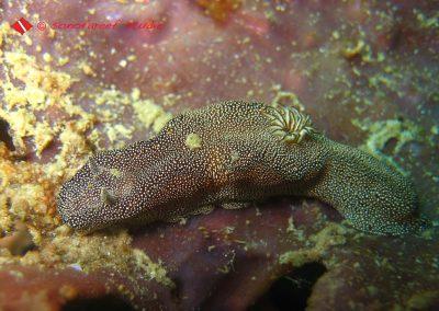 Glossodoris Stellatus-1