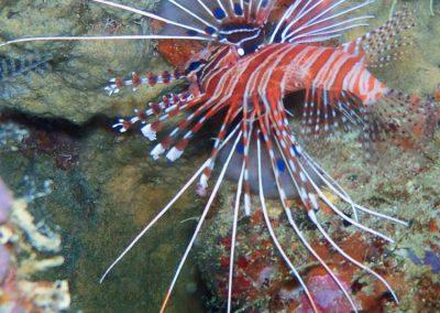 Lion Fish-1