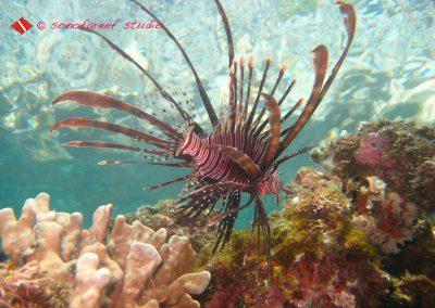 Lion Fish-3