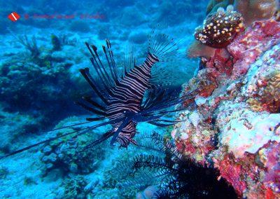 Lion Fish-4