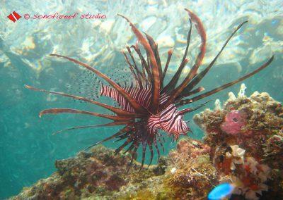 Lion Fish-5