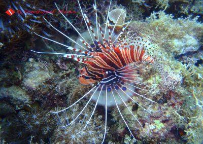 Lion fish-2