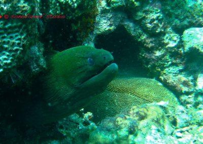 Moray Eel-1