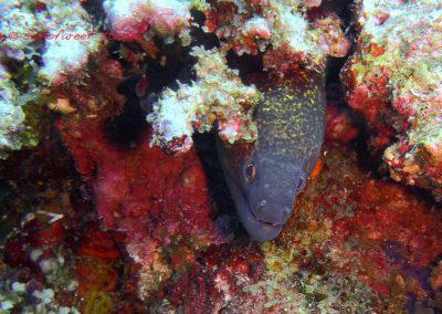 Moray Eel-3