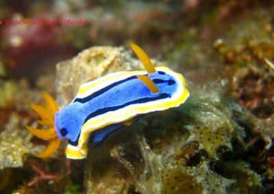 Nudibranch-12