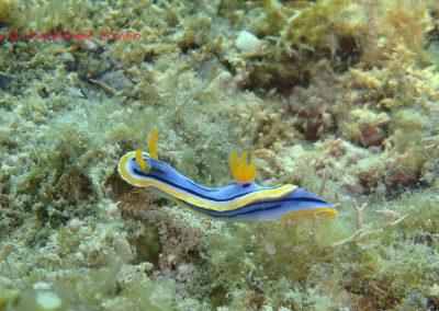Nudibranch-13