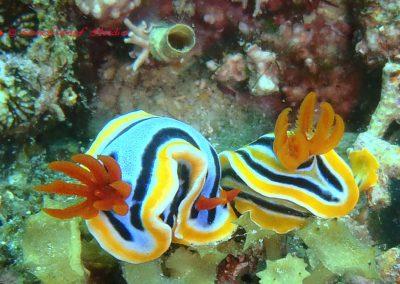 Nudibranch-15