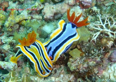 Nudibranch-16