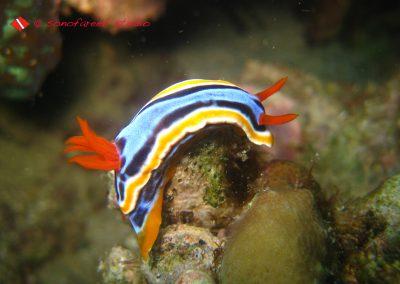 Nudibranch-18