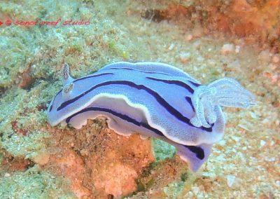 Nudibranch-4