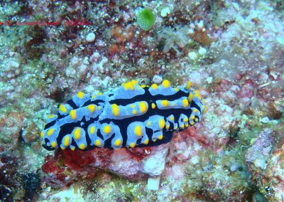 Nudibranch-5