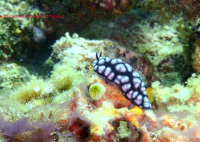 Nudibranch-6
