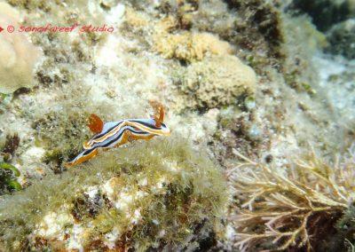Nudibranch-9