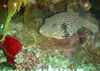 Puffer Fish (3)