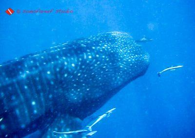 San Agustin-Whale Shark-11