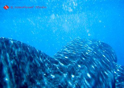 San Agustin-Whale Shark-34