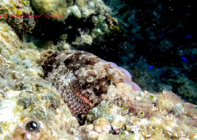 Scorpion Fish-1