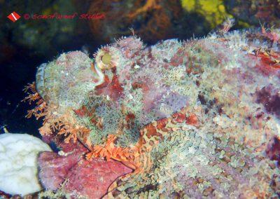 Scorpion fish-2