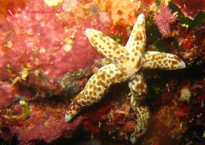Sea Star (2)