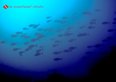 Surgeon Fish-3