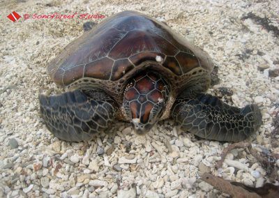 Turtle Banog-2