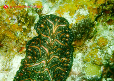Persian Carpet Flatworm (Pseudobiceros bedfordi)-1
