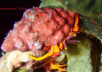 Pylopaguropsis speciosa-1