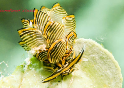 Cyerce nigra
