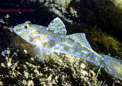 Fusigobius longispinus